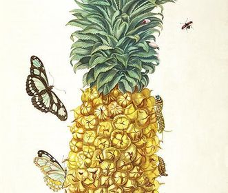 Drawing of a ripe pineapple by Maria Sibylla Merian, 1705. Image: Wikipedia, in the public domain